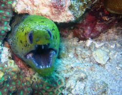 Fimbriated Moray Eel, Southern Leyte, Philippines. Taken ... by Katie Dann 